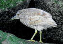 Baby Night Heron