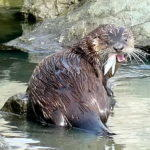 First Otter
