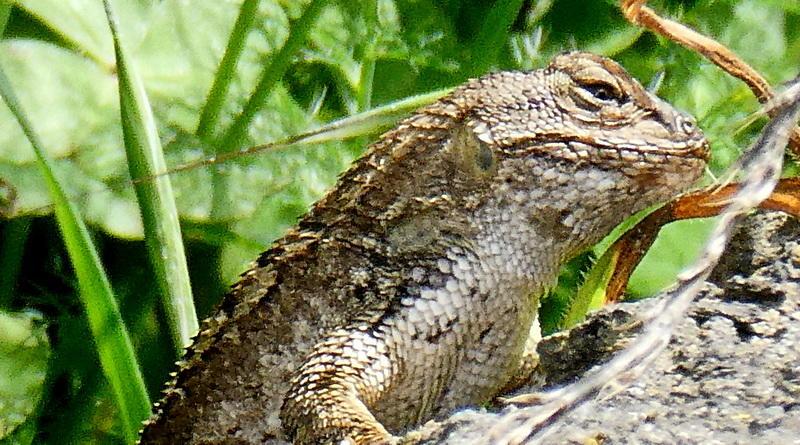 Lizards Wake
