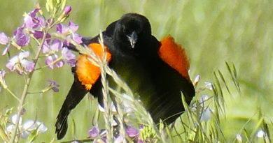 Doomed Blackbirds