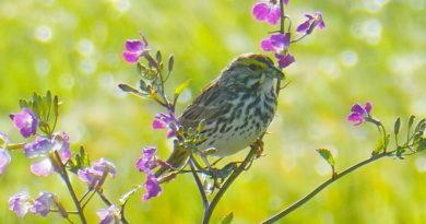 Special Sparrow