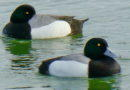 Scaup Pause