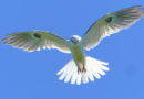 A Botanist's Kite