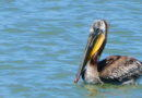 Pelicans At It