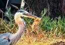 Heron Flees, Scores