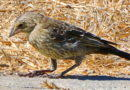 Cowbirds, in Berkeley?