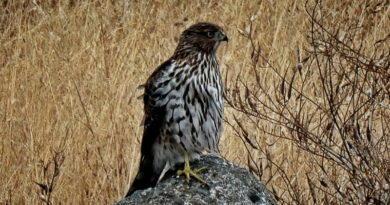 A Summer Hawk