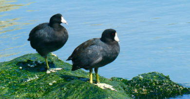 Coot Business