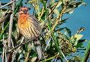 Finch Preening