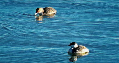 Early Grebes