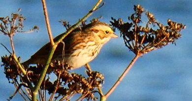 Savannah Sparrow is Back
