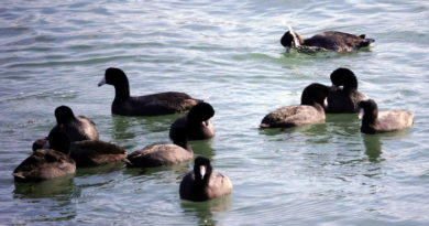 Coot Convention