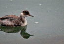 Eared? Horned? Small Grebe ID 101