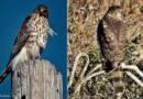 Bird-eating Hawk