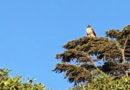 Treetop Raptor