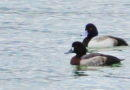 Scaup Arrive