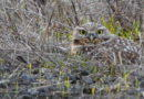 Owl Persists