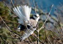 Why White-tailed