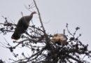 Turkeys in the Treetop