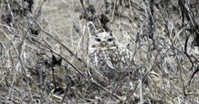 Owl in the Grass