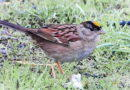 Least Known Sparrow