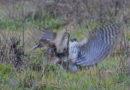 Owl Defies Hawk