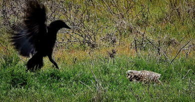 Owl Defies Crows