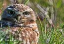 Hardy Owl