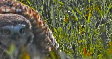 Owl v. Squirrels