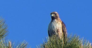 Crows v. Hawk