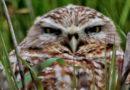 Owl Call: Sunday March 15