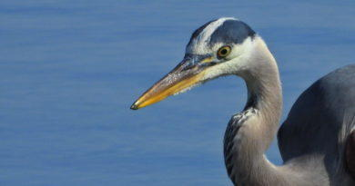 Great Blue at Low Tide