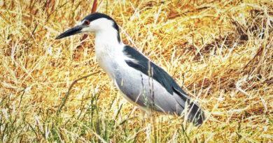 Dry Heron