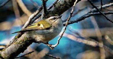 Kinglet With Golden Crown