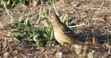 Early Pipit