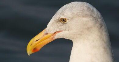 Gull Gab