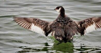 Horned Wings