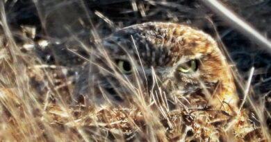 Undercover Owl