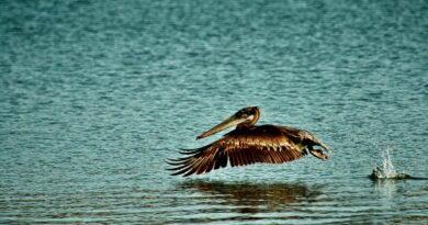 Pelican Bounce