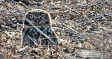 Owl Found