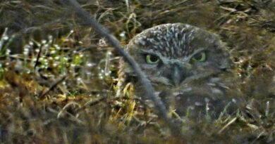 Owl Persists