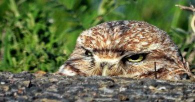 Owl Settled?