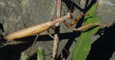 Bug Day (1): Mantis