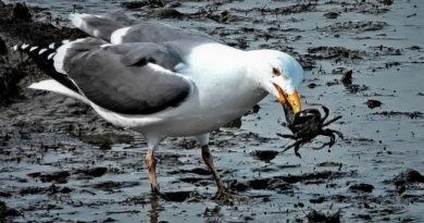 Gulls Crabbing