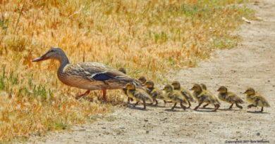 Mallard Mom & Her Babies