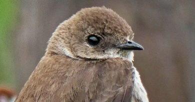 Burrowing Swallow