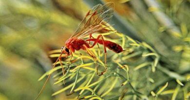 Bug Day (18): Killer Wasp