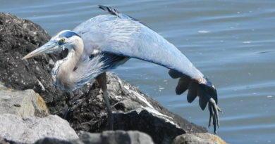 Heron Awakes