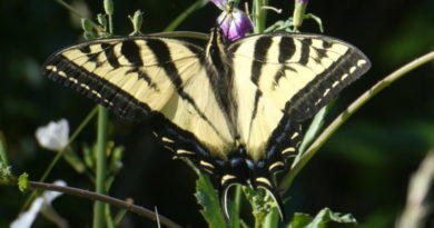 Bug Day (6) Two Swallowtails (Updated)