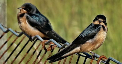 Swallows Resting